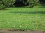 O sabiá negro no gramado verdinho catando insetos e nutrientes